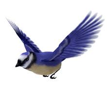 Florida Jay Bird