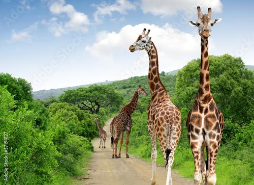 Recess Fitting Giraffe Giraffes in Kruger park South Africa