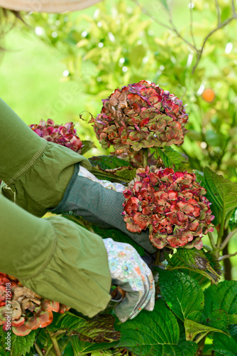 Fotobehang Hydrangea Rückschnitt einer Hortensie
