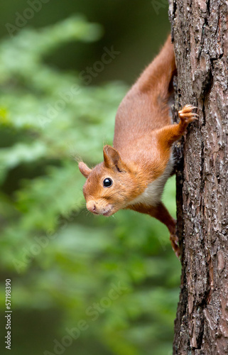 Foto op Canvas Eekhoorn Red Squirrel in the forest