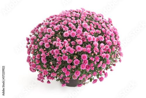 Fotomural Chrysantheme