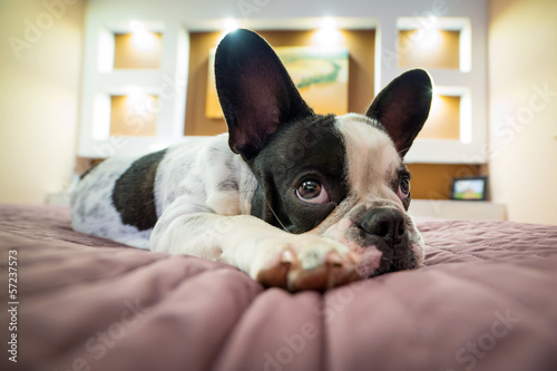 Poster Bouledogue français Adorable French bulldog puppy lying on bed