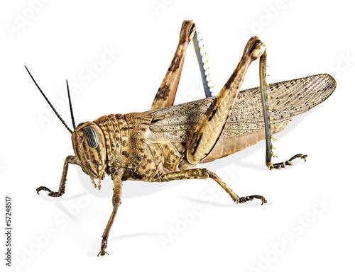Fotografia Locust isolated on white background