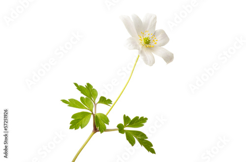 Wood anemone Wallpaper Mural