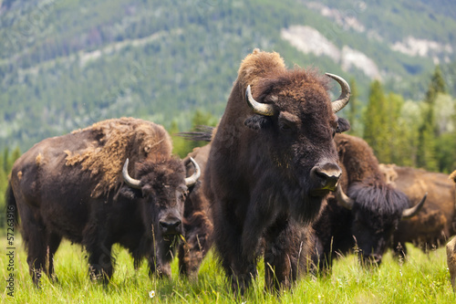 Photo Stands Bison American Bison or Buffalo