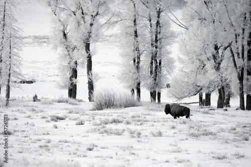 Foto op Aluminium Bison Bison, Bison bison,
