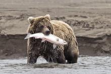 Coastal Brown Bear With Catch