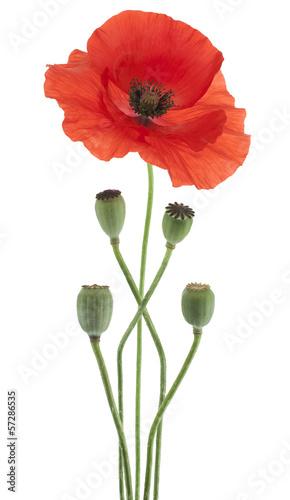 Photo Stands Poppy poppy
