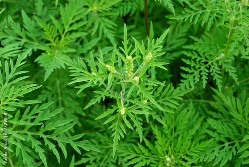 Photo Ambrosiapflanze mit Blüten