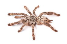 Tarantula Spider, Female (Hete...