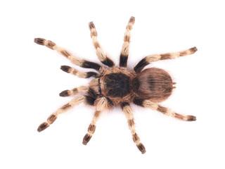 Tarantula spider, female (Nhandu coloratovilosum)