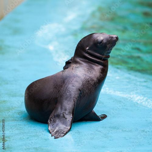 Fototapeta premium Sea Lion. Seal