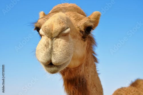 Deurstickers Kameel Close-up of a camel