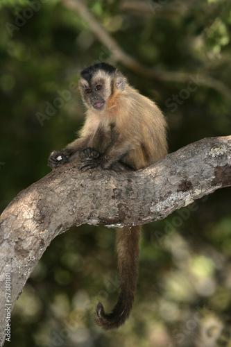 Photo Brown, black-striped or bearded capuchin, Cebus libidinosus