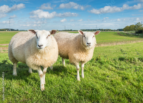 Papiers peints Sheep Two curiously looking sheep