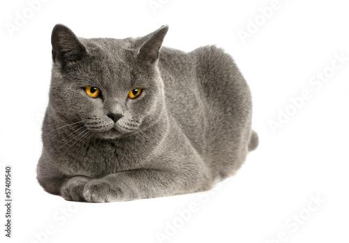 Foto op Canvas Eekhoorn British cat