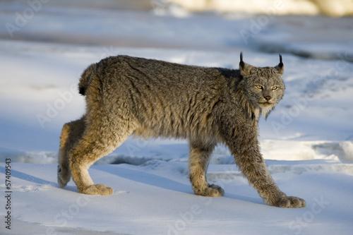 Poster Lynx Canadian lynx, Lynx canadensis