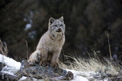 Foto auf Leinwand Luchs Canadian lynx, Lynx canadensis