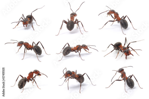Photo brown forest ants