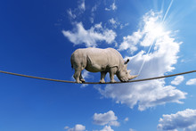 Rhino Walking On Rope
