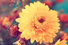 Adorable Autumnal Soft Yellow Aster Close Up