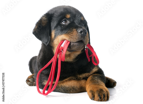rottweiler and leash Wallpaper Mural