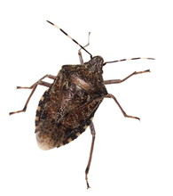 Brown Marmorated Stink Bug Iso...