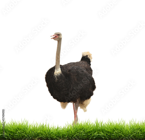 Stickers pour porte Autruche ostrich with green gress isolated
