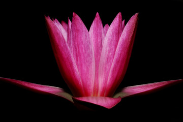 Obraz na SzklePink lotus on black background