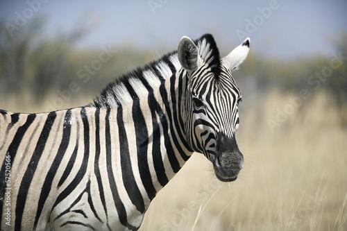 Acrylic Prints Zebra Zebra in Etosha in Namibia