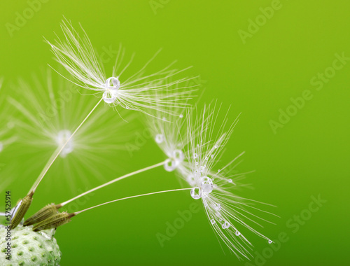 Garden Poster Dandelions and water dandelion seeds