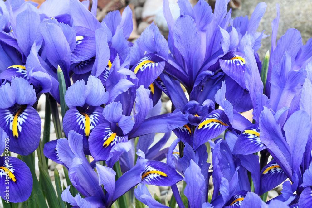 Fototapeta Dutch miniature blue iris (Iris reticulata)