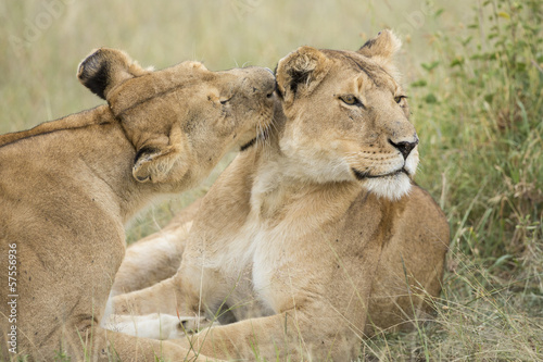 Staande foto Leeuw Two female Lions grooming (Panthera leo) in Tanzania