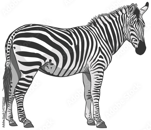 Poster Zebra Isolated Zebra Illustration