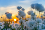 Cotton grass on a background of the sunset sky - 57581157