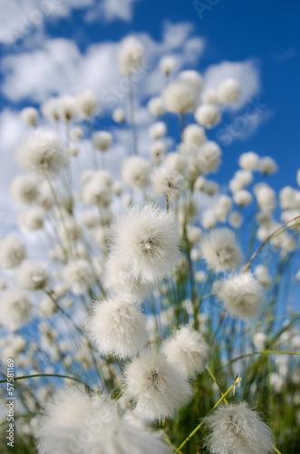 kwiatonosna-bawelniana-trawa-na-tle-niebieskie-niebo