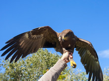 Releasing To Wild A Lesser Spotted Eagle (Aquila Pomarina)