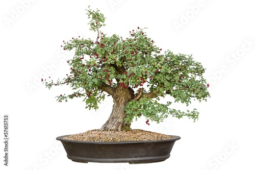Tuinposter Bonsai Bonsai tree