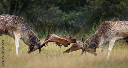 Photo  Fallow deer fight during the rutting season