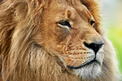Cuadros en Lienzo  Retrato del león con melena rica en sabana, safari