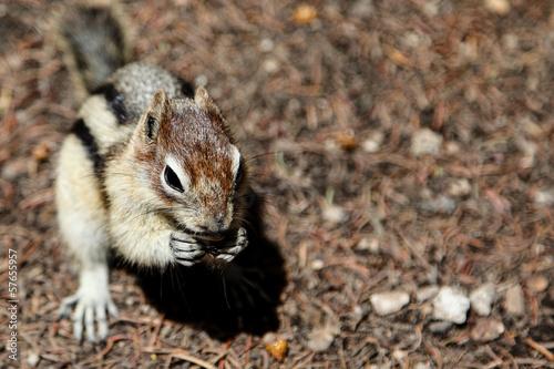 Foto op Canvas Eekhoorn Chipmunk Background With Copy Space