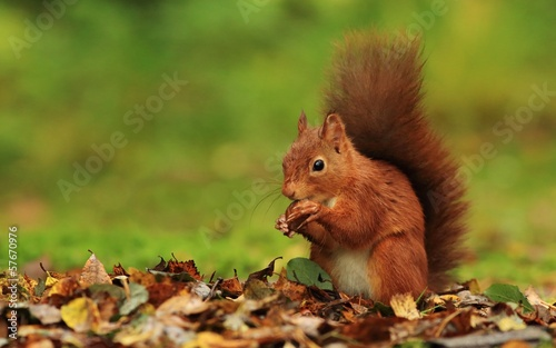 Photo sur Toile Squirrel Red Squirrel (Sciurus vulgaris)