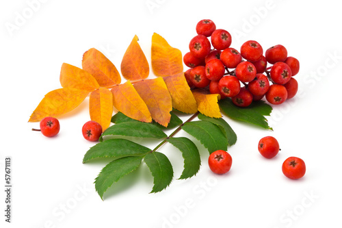 Fotografie, Obraz  rowan berries and leaves