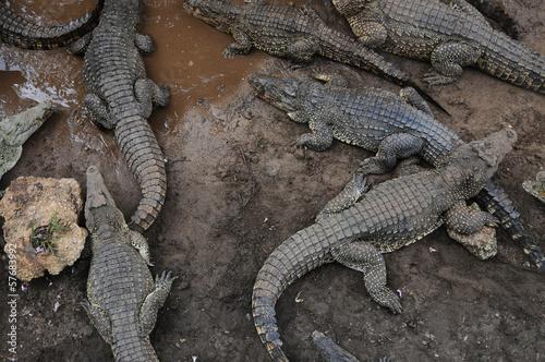 Photo  Cuban crocodile farm