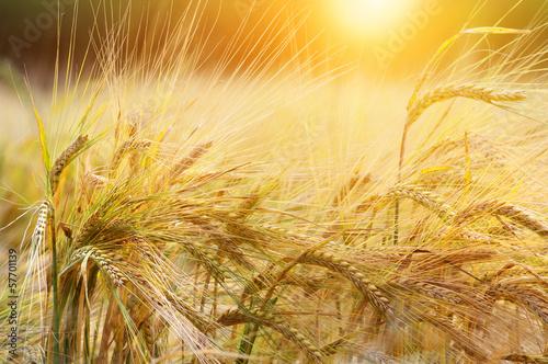Fotografia  Wheat background