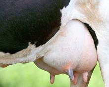 Detail Of Holstein Cow Udder