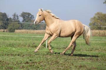 Palomino quarter horse running on pasturage