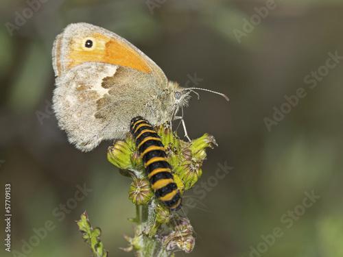 Foto auf Leinwand Schmetterling Vlinder met rups
