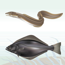 Conger Eel And Halibut (turbot). Vector Illustration.