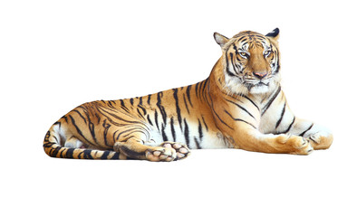 Fototapeta Tiger looking camera with clipping path on white background